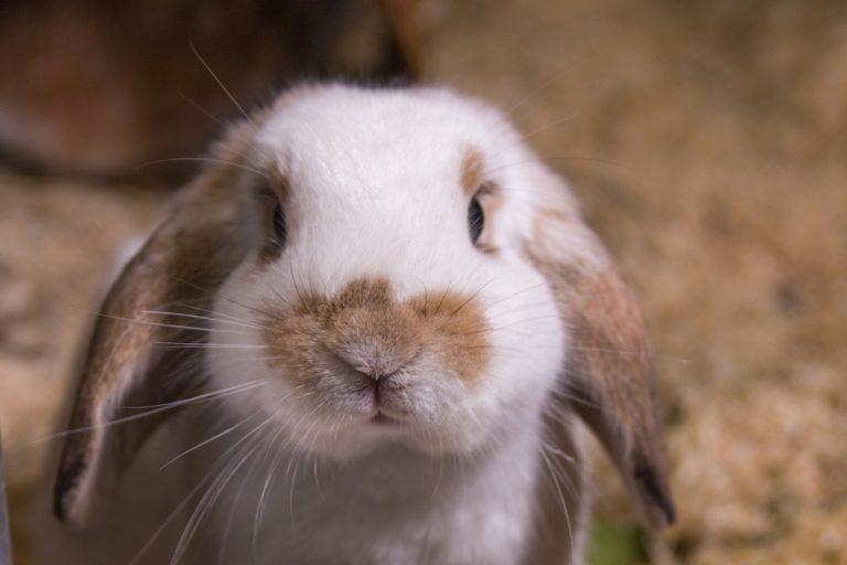 Kaninchen Ottokar schaut aus seinem Gehege