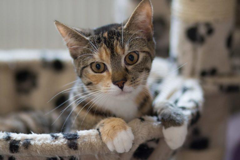 Katzendame Mimmi schaut aus einer Schale ihres Kratzbaumes