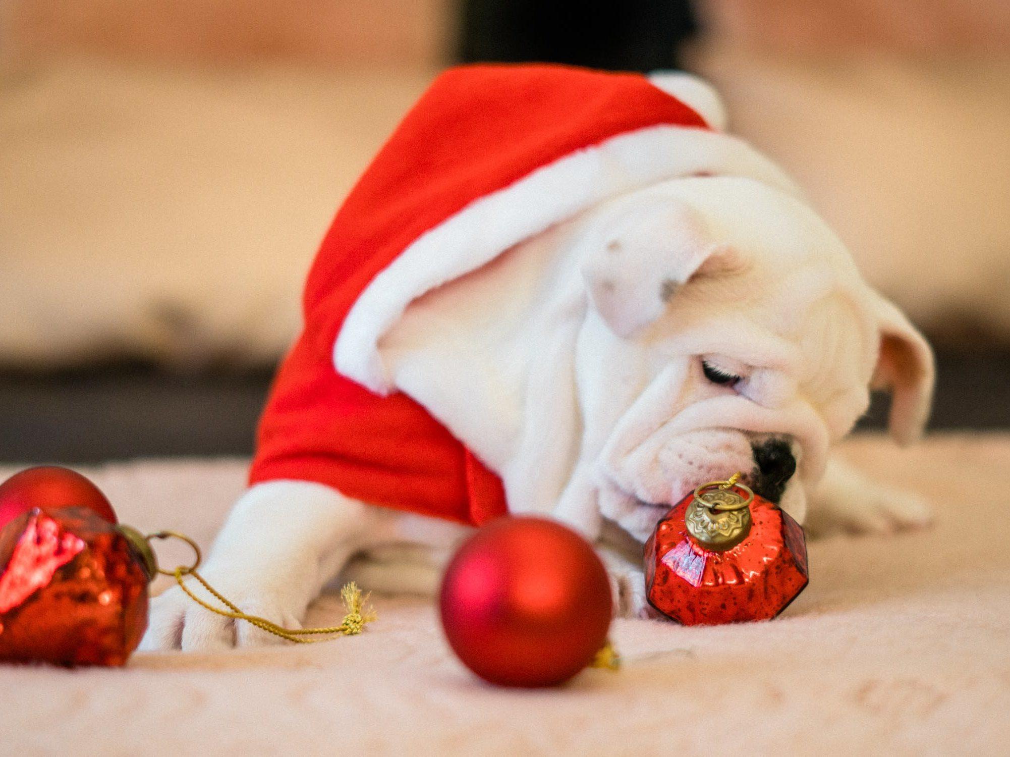 Hunde im Weihnachtsmannkostüm mit Weihnachtsbaumkugeln